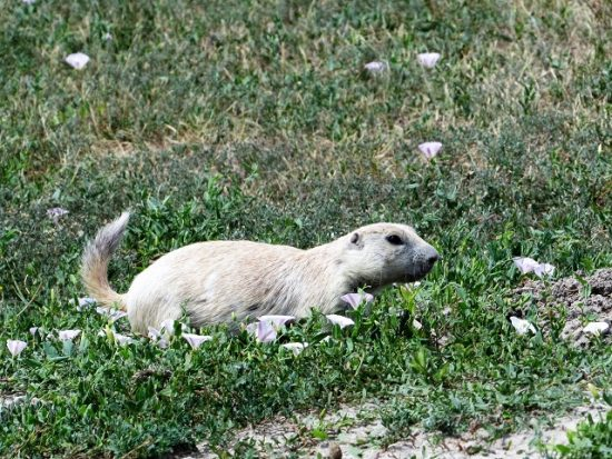 A White Prairie Dog (otherwise known as a leucistic Black-tailed Prairie Dog)