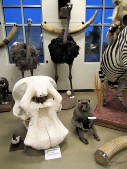 Elephant skull and ostriches