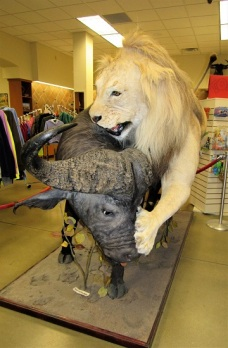 Lion vs. African (Cape) Buffalo