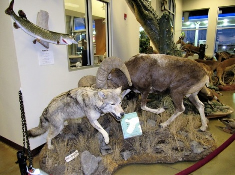 Wolf vs. Bighorn Sheep