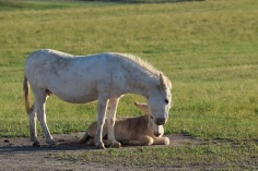 A white mama donkey and her white baby