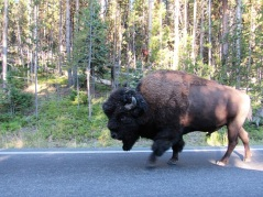 YNP-Bison-Road-Walking