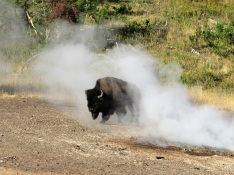 A bison walking through steam