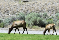 A mama elk with her calf
