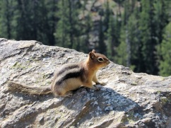A Golden Mantled Ground Squirrel at Inspiration Point