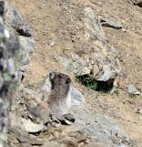 A Marmot!