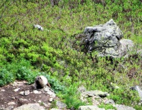 Another Marmot!