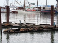 Sea lions on the dock