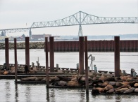 Sea lions with the bridge