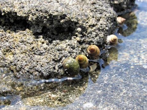 Lots of sea snails