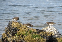 Black Turnstones on the shore