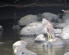 A juvenile Black-Crowned Night Heron