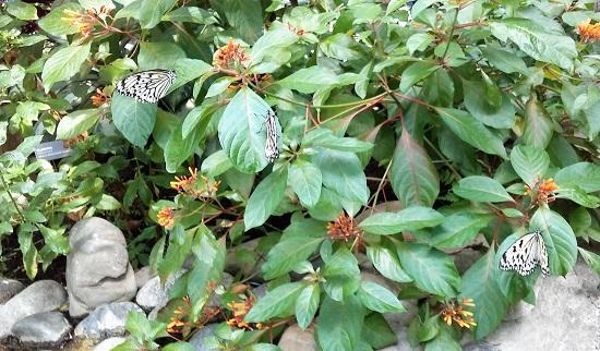 Butterflies on Plumeria