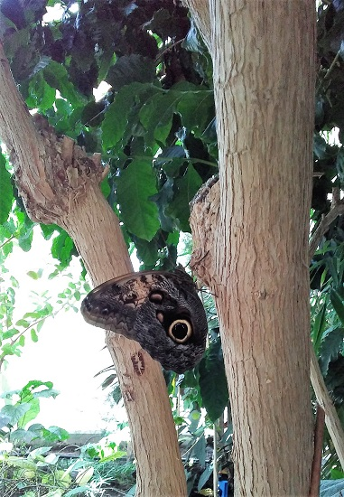 An Owl Butterfly - so pretty!