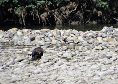 Bald Eagle on the Snake River