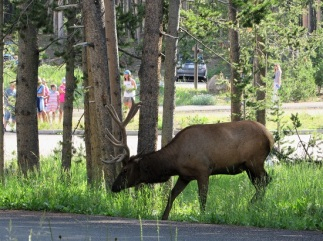 The Bull Elk walking
