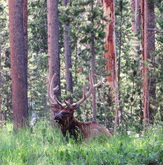 A Bull Elk in our campground - he was gorgeous!