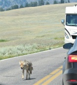 Coyote trotting down the road