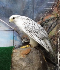 "Gyrfalcon (pronounced ""jeer"" falcon)"