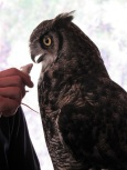 A Great Horned Owl is offered a mouse