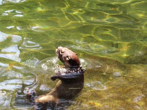 River Otter Playing