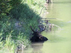 Moose in the Snake River