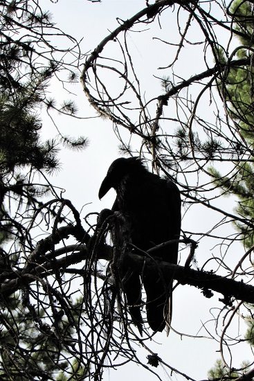 A raven in silhouette in the campground