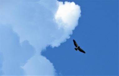 A Swainson's Hawk Soaring