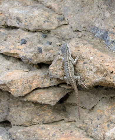 A lizard at Balancing Rocks