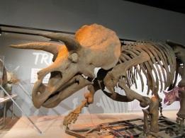 Triceratops Skeleton