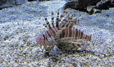 Georgia-Aquarium-Lionfish