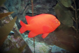 Georgia-Aquarium-Orange-Fish
