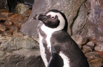 Georgia-Aquarium-Penguin