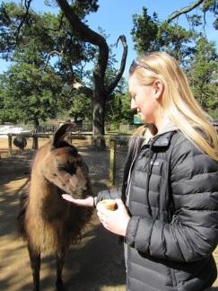 Brenna feeding a llama