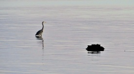 Great Blue Heron on Whidbey