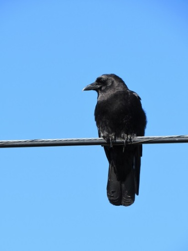 Raven on a wire