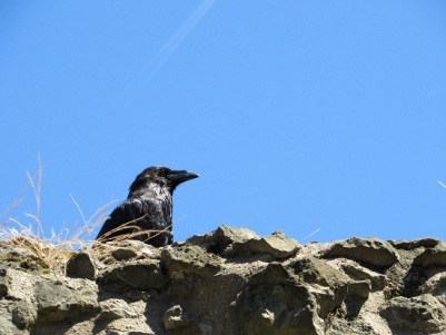 A domesticated raven at the Tower of London