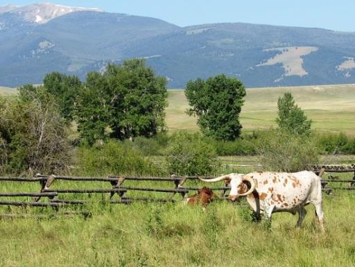 Montana-Longhorn