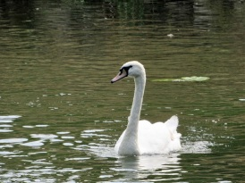 A swan on the River Avon