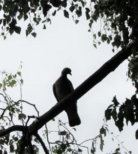 A dove!