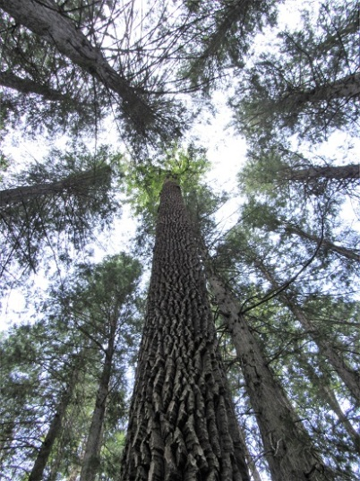 Old growth cedar and hemlock - these trees are at the easternmost point of their range here.