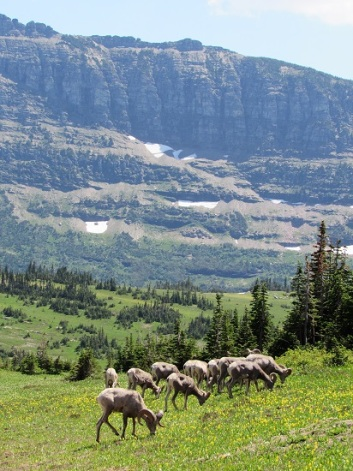 Bighorn-Sheep-Grazing