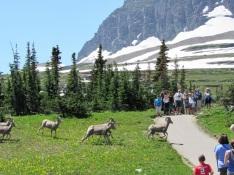 Bighorn-Sheep-Running