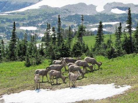 Bighorn-Sheep-Snow