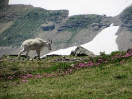 Glacier-Mountain-Goat-Flowers