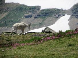 Glacier-Mountain-Goat-Flowers