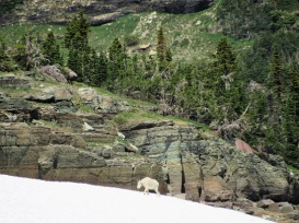 Glacier-Mountain-Goat-Snow