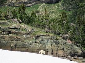 Glacier-Mountain-Goat-Snow