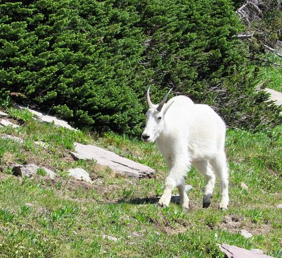 Glacier-Mountain-Goat
