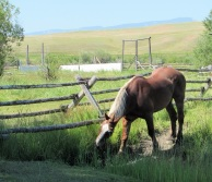 A draft horse grazing